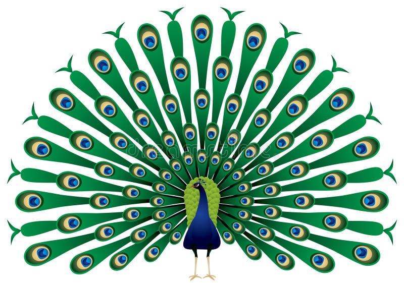 De pauw heft binnen zijn veren op   royalty-vrije illustratie