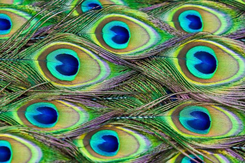 De pauwveren stock afbeeldingen