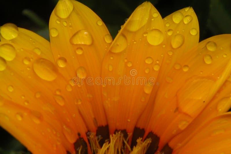 De pedalen van de bloem stock foto's