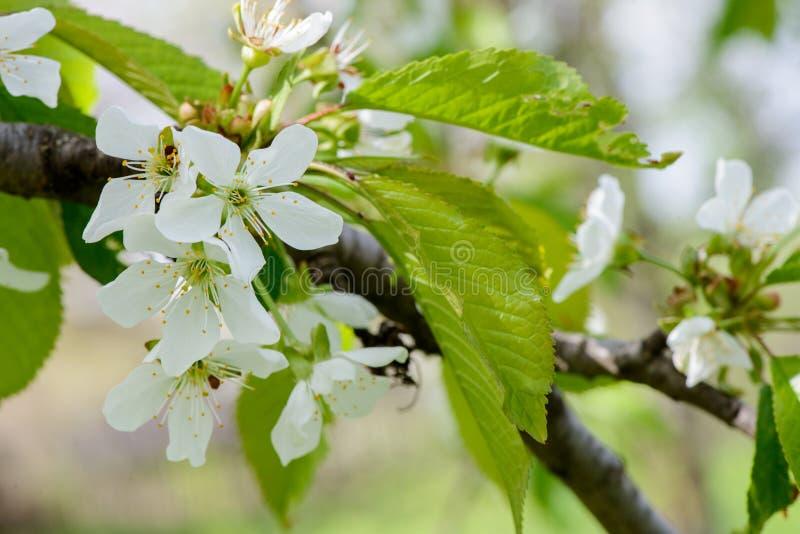de peer komt de bloei van de appelboom tot bloei De lente kwam stock foto's