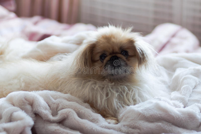 De pekinees ligt op een witte deken stock foto