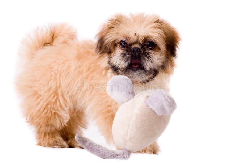 De pekingese hond van Playfull royalty-vrije stock foto's