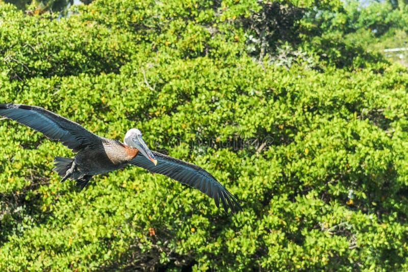 De pelikaan die van de Galapagos voor de vegetatie in de Eilanden van de Galapagos vliegen stock afbeeldingen