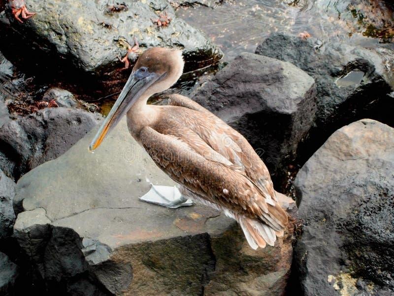 De Pelikaan van de Galapagos stock afbeelding
