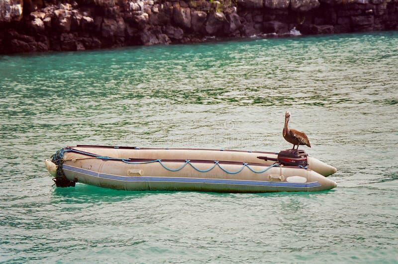 De pelikaan van de Galapagos op boot royalty-vrije stock afbeelding