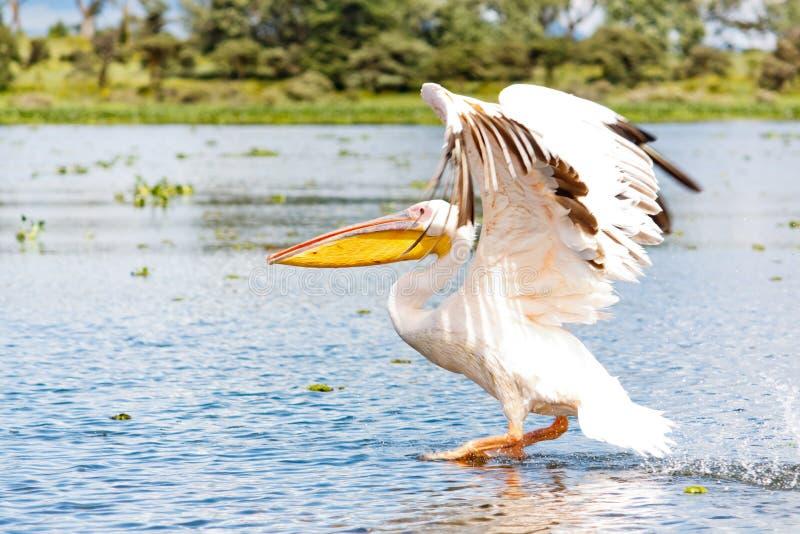 De pelikaan vliegt stock fotografie
