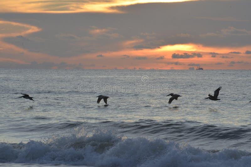 De pelikanen glijden langs de eilandkust aangezien de zon op de horizon toeneemt royalty-vrije stock afbeeldingen