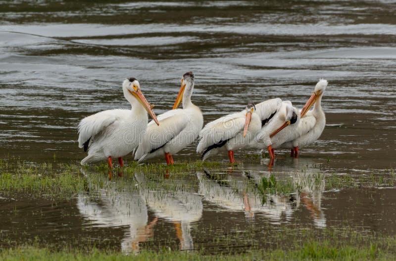 De pelikanen waden in Ondiepe Meerwateren stock foto's