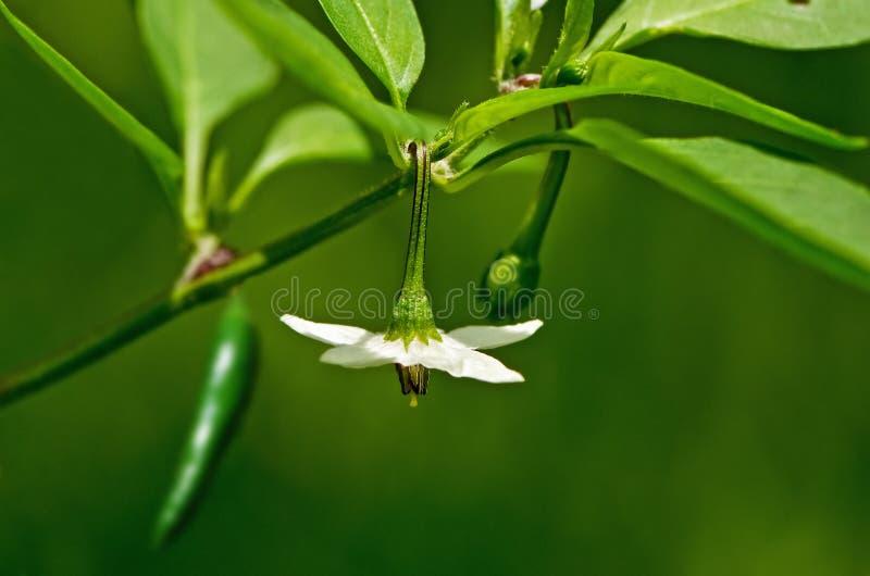 De peperbloem en fruit van de Spaanse peper stock foto