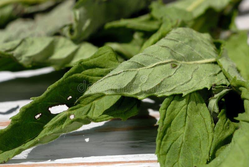 De pepermunt is droog op een lichte achtergrond stock foto