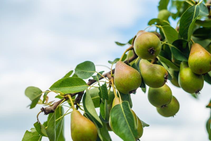 De peren rijpen op een tak van een perenboom royalty-vrije stock afbeeldingen