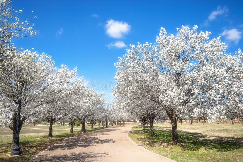De perenbomen die van Bradford in de lente van Texas bloeien royalty-vrije stock afbeeldingen
