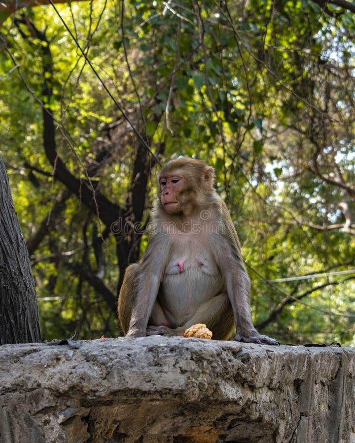 De perfecte aap stelt stock foto