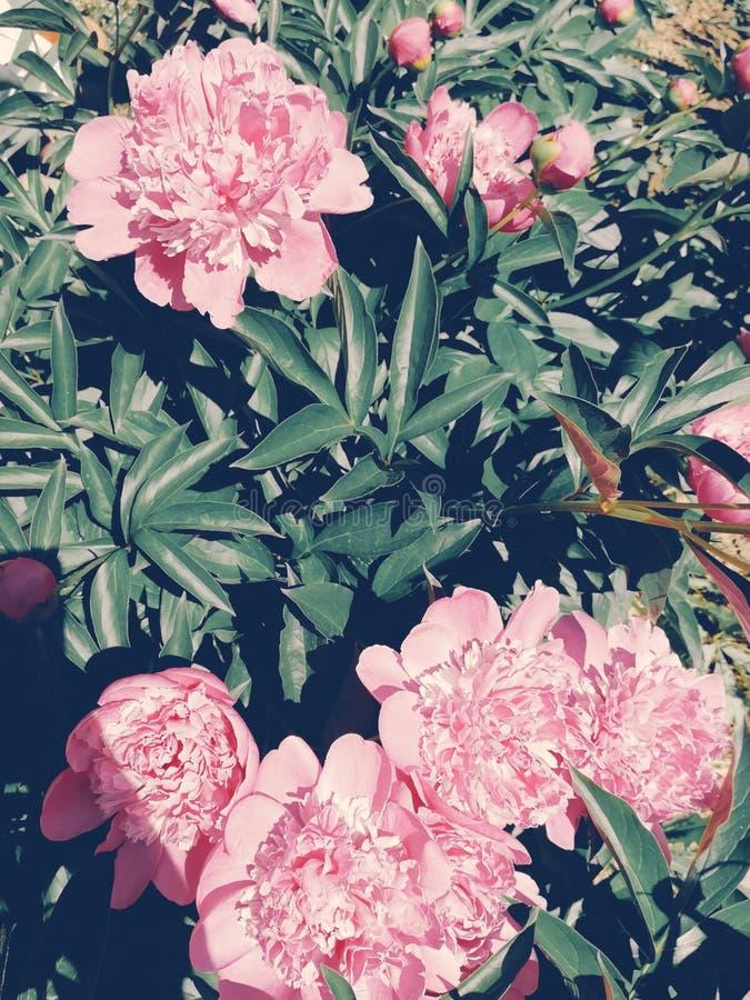 De perfecte bloemenpioenen doorboren groen royalty-vrije stock foto's