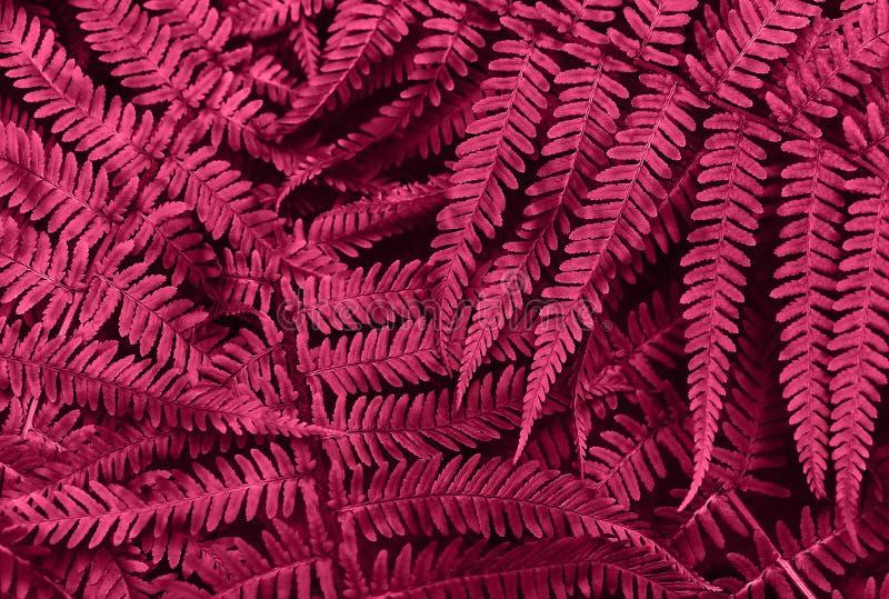 De perfecte natuurlijke jonge varen verlaat patroonachtergrond Roze donkere en humeurige achtergrond voor uw ontwerp Hoogste meni stock afbeeldingen