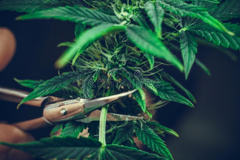 De persoons in orde makende bladeren van het medische close-up van de marihuanainstallatie Cannabisinstallatie die binnen groeien royalty-vrije stock foto's