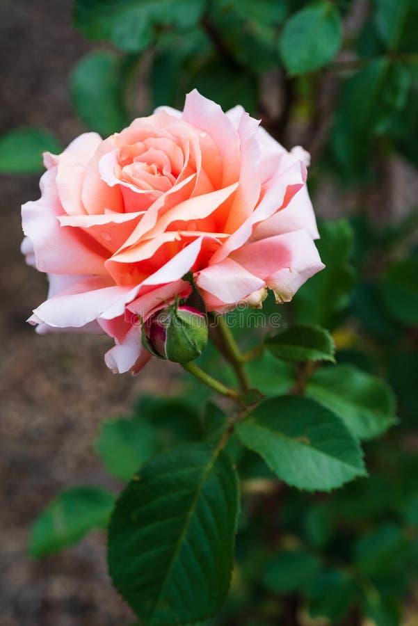 De perziktuin nam bloeiend in de tuin toe stock afbeelding