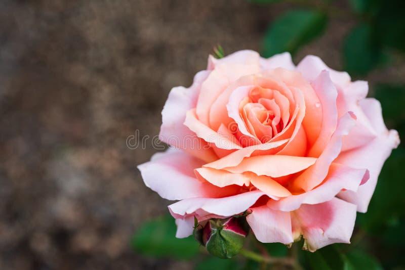 De perziktuin nam bloeiend in de tuin toe stock afbeeldingen