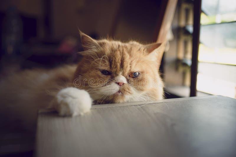 De Perzische kat maakt eenzaam stock afbeeldingen
