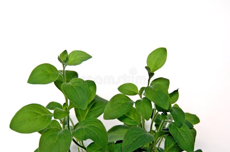De petunia van bladeren royalty-vrije stock afbeeldingen