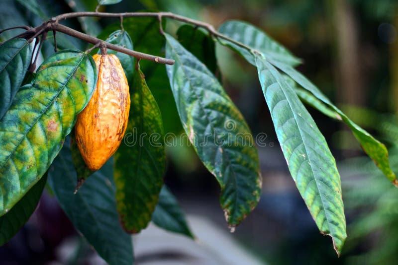 De Peul van de cacao royalty-vrije stock foto