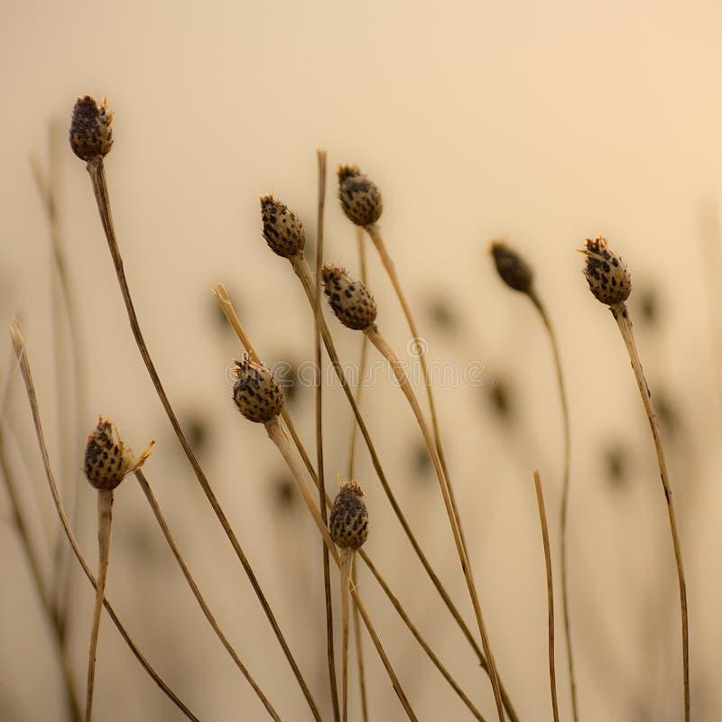De Peulen van het zaad stock afbeelding