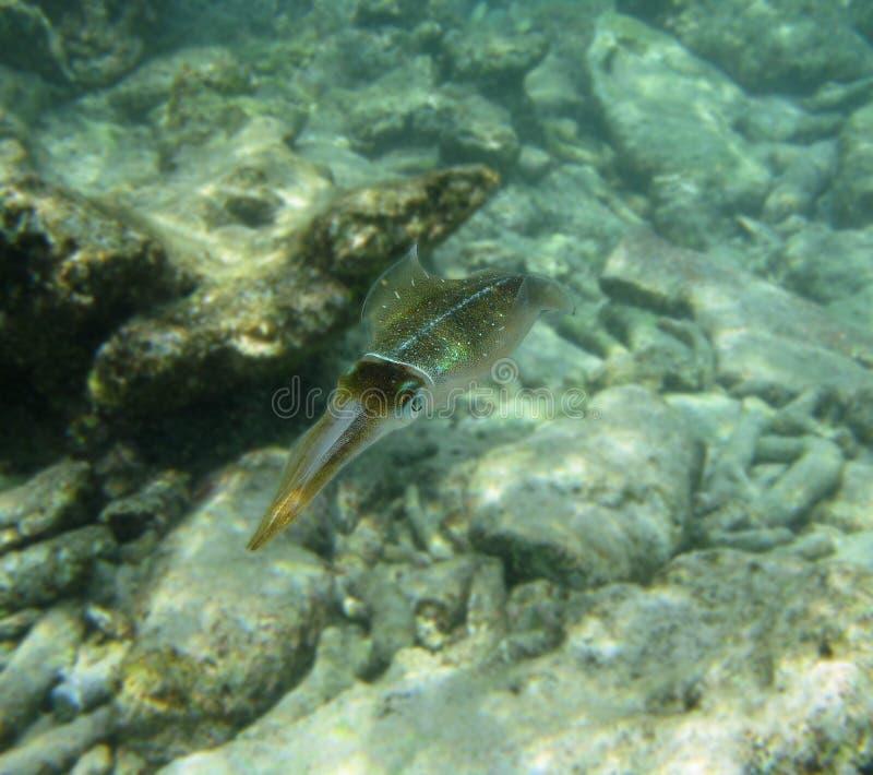 De pijlinktvis van Bonaire royalty-vrije stock afbeelding
