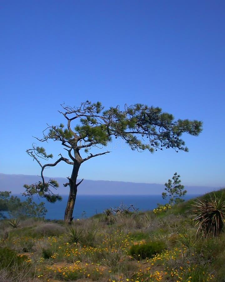 De Pijnbomen van Torrey royalty-vrije stock foto's