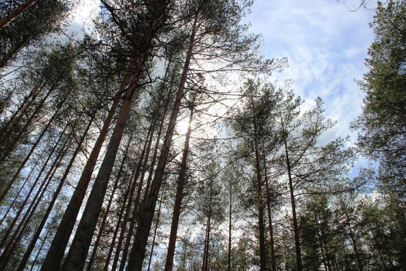 De pijnbomen zijn naaldboombomen in de soort Pinus royalty-vrije stock foto's