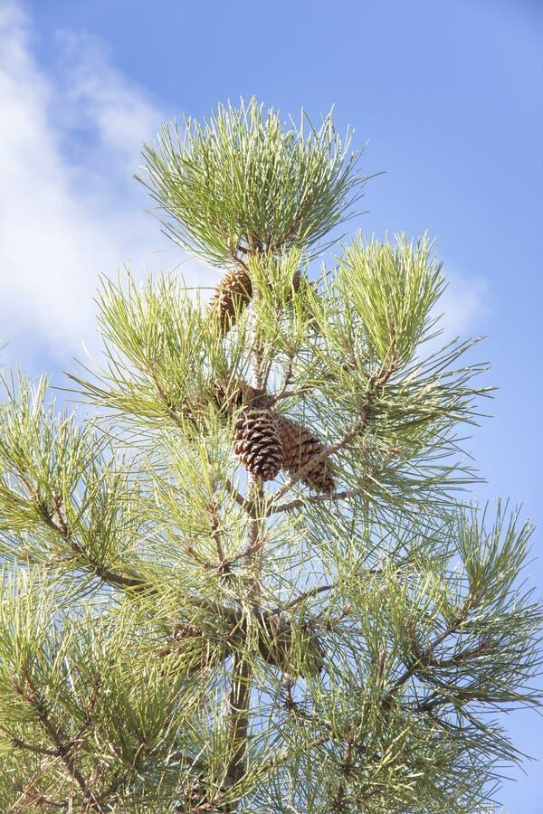 De pijnboom bedriegt pijnboomnoten op de takken onder een blauwe hemel met witte wolken royalty-vrije stock foto's