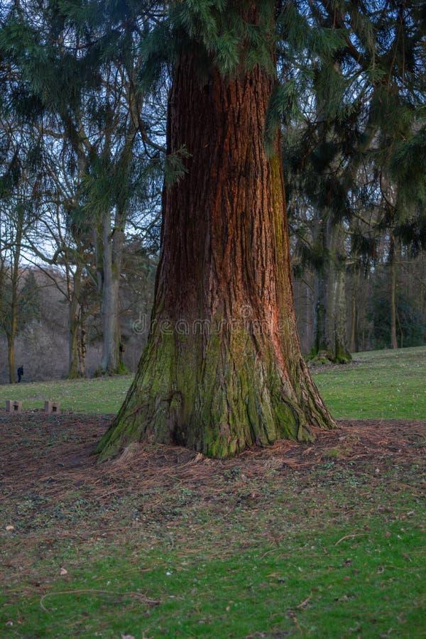 De pijnboom die het verschillende omvang dan geeft het heeft stock afbeelding