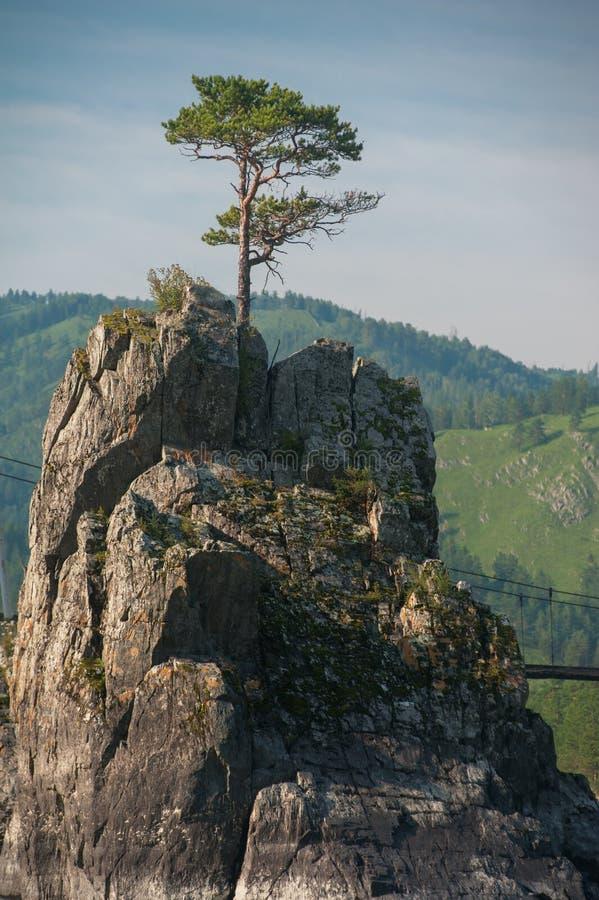 De pijnboom groeit door de rotsen royalty-vrije stock fotografie