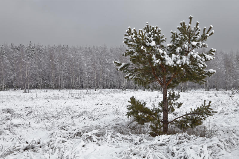 De pijnboom van de kromme stock afbeeldingen