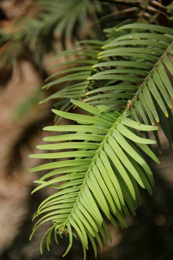 De Pijnboom van Wollemi stock afbeeldingen