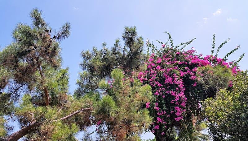 De de pijnboomboom en bougainvillea in hotel tuinieren, Kemer, Mediterrane kust, Turkije stock afbeeldingen