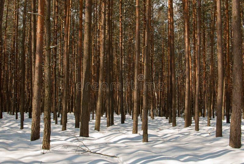 De pijnboombos van de winter stock afbeelding