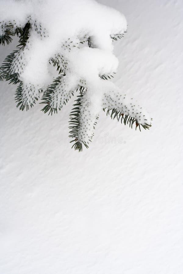 De pijnboomtak van de sneeuw royalty-vrije stock afbeeldingen