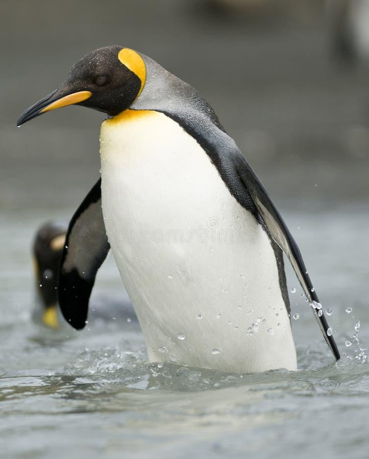 De Pinguïn die van de koning in de Ondiepte waadt stock foto's
