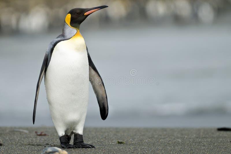 De Pinguïn die van de koning zich op het Strand bevindt stock foto