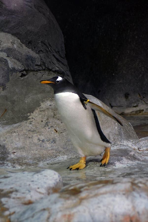 De pinguïn in de dierentuin van Moskou, het loopt royalty-vrije stock foto
