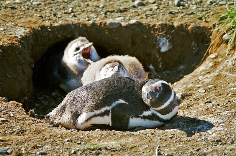 De Pinguïn en de kuikens van de moeder royalty-vrije stock afbeeldingen