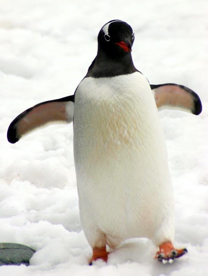 De pinguïn van Adelie