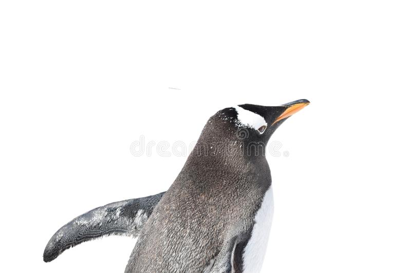 De pinguïn van de babykeizer lopen geïsoleerd op witte achtergrond royalty-vrije stock foto's