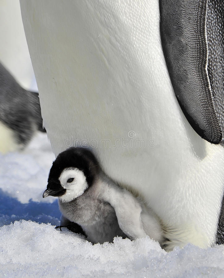 De Pinguïn van de keizer stock fotografie