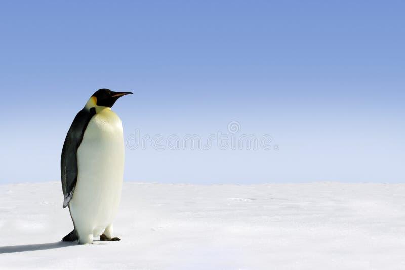 De pinguïn van de keizer in Antarctica stock afbeelding