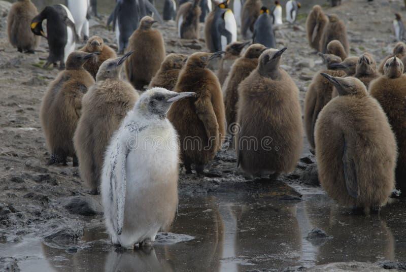 De Pinguïn van de koning royalty-vrije stock foto's
