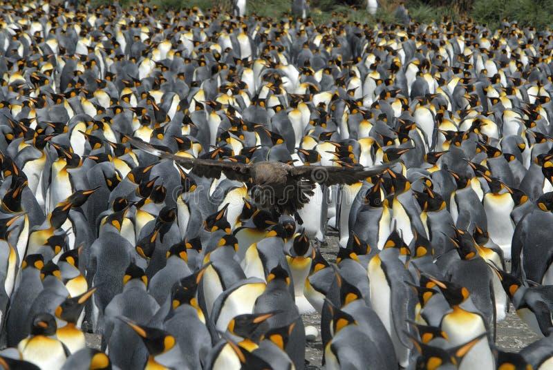 De Pinguïn van de koning stock foto's