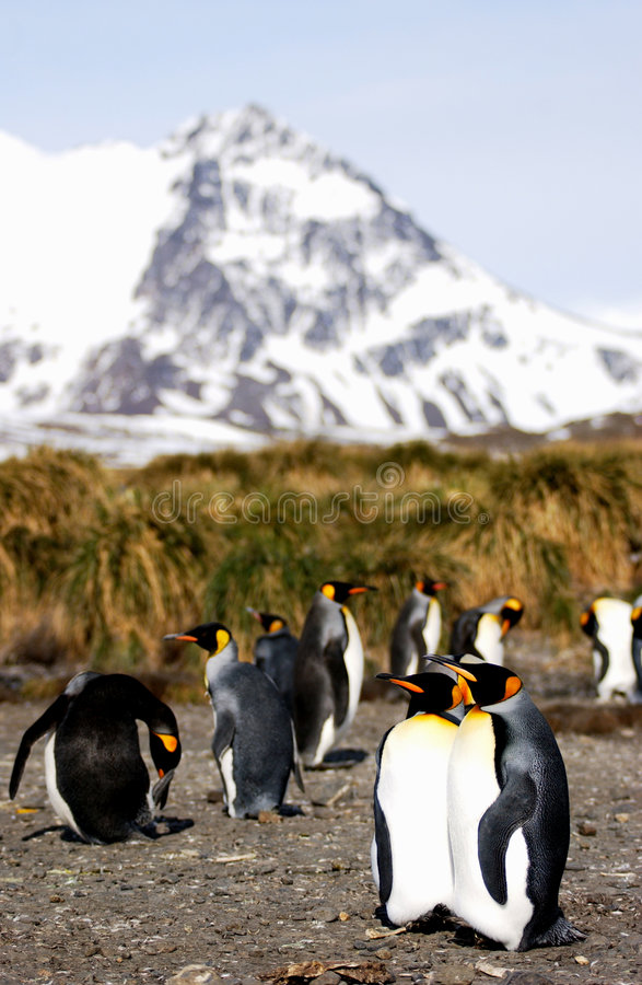 De pinguïn van de koning royalty-vrije stock afbeelding