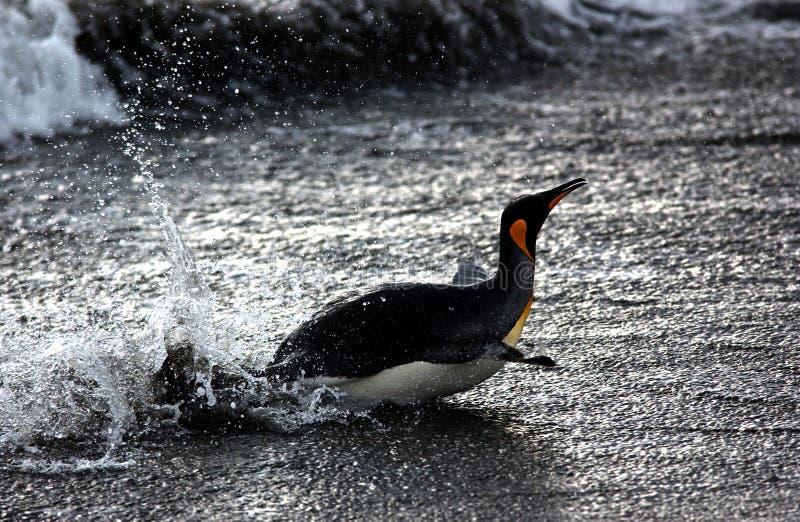 De pinguïn van de koning royalty-vrije stock foto