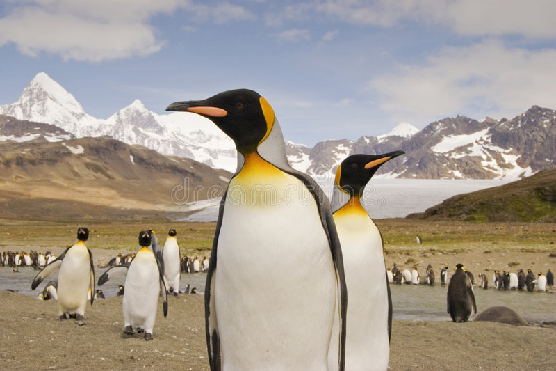 De Pinguïn van de koning op Zuid-Georgië